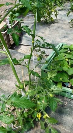 Les tomates poussent tranquillement